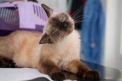 在狩医诊所的老Birmanese猫 库存图片