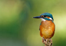 在狩猎位置的共同的翠鸟,水平 免版税库存照片