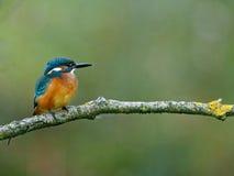 在狩猎位置的共同的翠鸟 库存图片