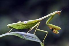 在狩猎位置的螳螂在绿色叶子 免版税库存图片