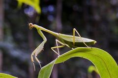 在狩猎位置的螳螂在绿色叶子 库存图片