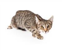 在狩猎姿态的虎斑猫 免版税库存照片