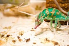 在狩猎的一个变色蜥蜴 免版税图库摄影