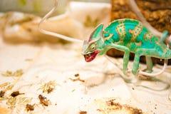 在狩猎的一个变色蜥蜴 图库摄影