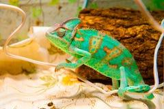 在狩猎的一个变色蜥蜴 免版税库存图片