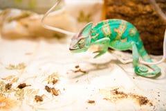 在狩猎的一个变色蜥蜴 库存图片