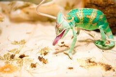 在狩猎的一个变色蜥蜴 库存照片