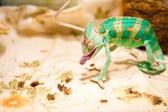 在狩猎的一个变色蜥蜴 免版税库存照片