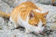 在狩猎的一只姜猫 库存照片