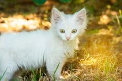 在狩猎的一只小和邪恶的蓬松白色猫跟随在草风雨棚的牺牲者 图库摄影