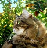 在狩猎的一只掠食性猫 图库摄影
