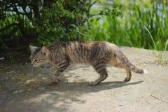 在狩猎的一只猫在攻击前 免版税库存图片