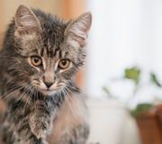 在狩猎的一只猫 在攻击之前的一只猫 免版税库存照片
