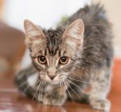 在狩猎的一只猫 在攻击之前的一只猫 库存照片