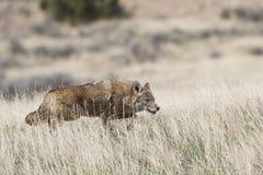 在狩猎的土狼 免版税库存图片