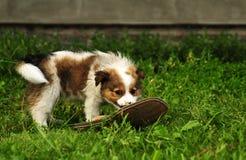 在狩猎的小狗 库存照片