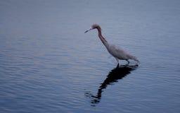 在狩猎的小的蓝色苍鹭 图库摄影
