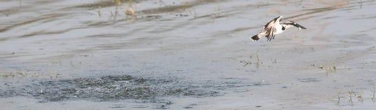 在狩猎的染色翠鸟 免版税库存图片