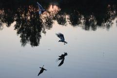 在狩猎的海鸥 库存照片