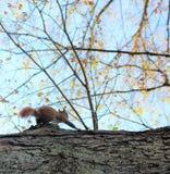 在狩猎的灰鼠 免版税库存照片