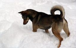 在狩猎的狗 库存图片