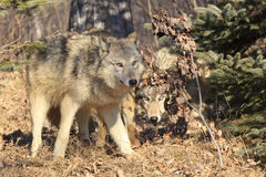 在狩猎的狼 库存图片