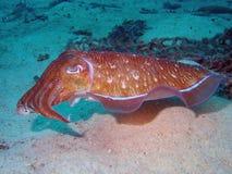 在狩猎的章鱼 免版税库存照片