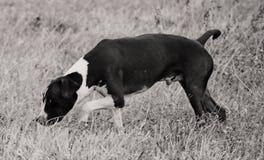 在狩猎的美国斯塔福德郡狗 免版税库存照片