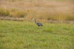 在狩猎的蓝色苍鹭 库存照片