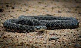 在狩猎的蛇 图库摄影
