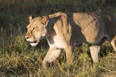 在狩猎的雌狮在日落 库存照片