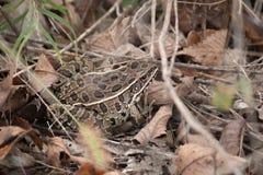 在狩猎的青蛙 图库摄影
