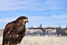 在狩猎的鹰 免版税库存照片