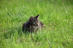 在狩猎老鼠的野生家猫 免版税库存图片