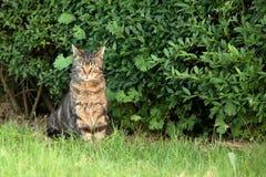 在狩猎老鼠的野生家猫 免版税库存照片