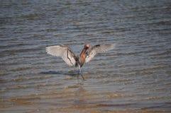 在狩猎舞蹈看见的带红色白鹭 免版税库存照片