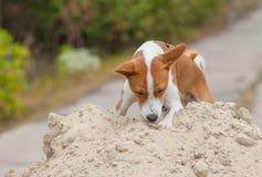 在狩猎阶段的Basenji狗 库存照片