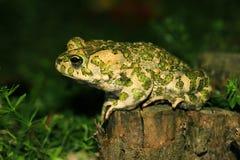 在狩猎(Bufo viridis)的蟾蜍 免版税库存图片