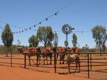 在独峰驼农场的骆驼 库存照片