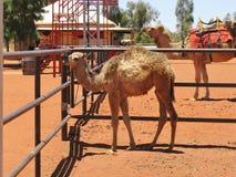 在独峰驼农场的骆驼 免版税库存照片