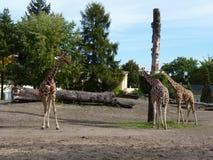 在狭小通道的三头长颈鹿 免版税库存图片