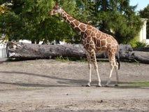 在狭小通道的长颈鹿 图库摄影