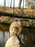 在狭窄的河的海狸咬住的下落的树 免版税图库摄影