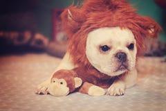 在狮子服装的法国牛头犬 免版税图库摄影