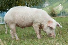 在猪吃的特写镜头 免版税图库摄影