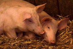 在猪圈的两头幼小猪 免版税库存照片