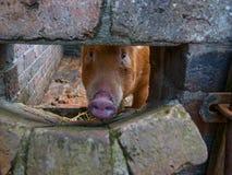 在猪圈的塔姆沃思罕见的品种猪 库存照片