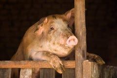 在猪圈的大猪 免版税库存照片