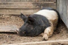在猪圈的大肉猪 图库摄影