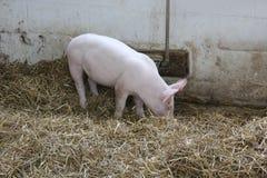 在猪圈的小猪在门诺派中的严紧派的村庄 图库摄影